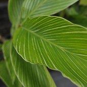 Alpinia formosana