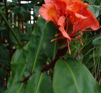 Hedychium greenii 10 flower