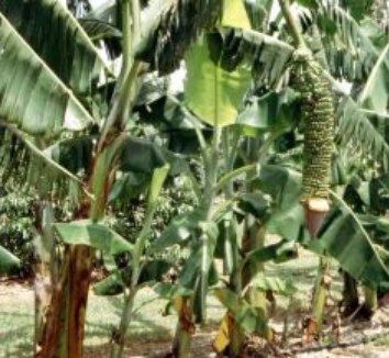 Musa x paradisiaca 'Seribu' 4 fruit