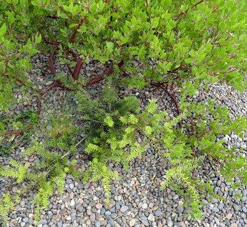 Podocarpus 'Orangeade' 5 form