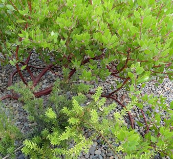 Podocarpus 'Orangeade' 8 form