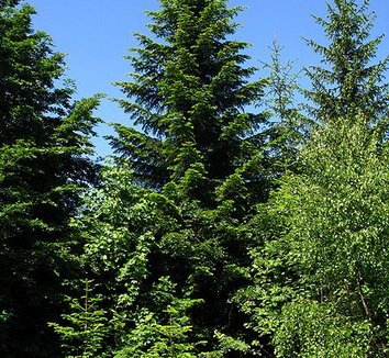 Abies alba 3 form