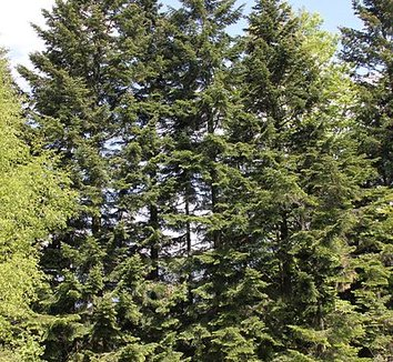 Abies alba 5 form