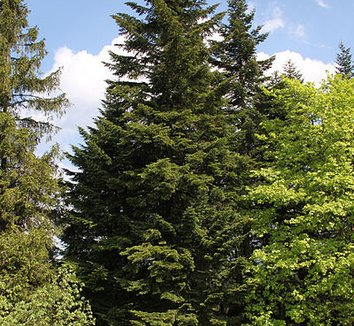Abies alba 6 form