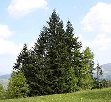 Abies alba 8 form