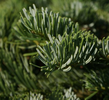 Abies amabilis 'Spreading Star' 6