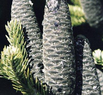 Abies balsamea 6 cones