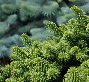 Abies balsamea 'Piccolo' 8