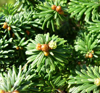 Abies balsamea 'Piccolo' 10 form