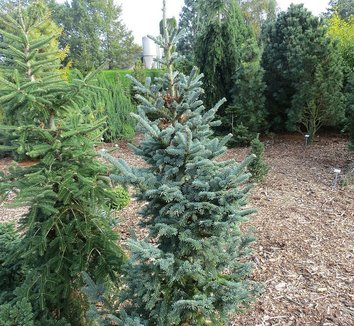 Abies balsamea 'Tyler Blue' 1 form