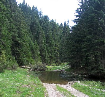 Abies cephalonica 4 form