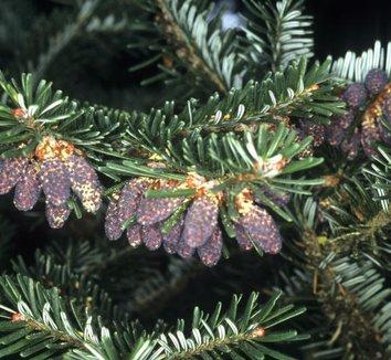 Abies chinensis 'Prostrata Glauca' 1 cones