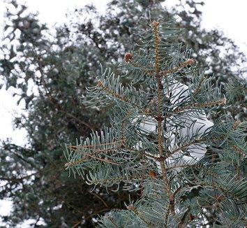 Abies concolor 10
