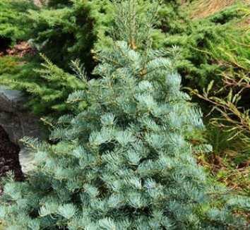 Abies concolor 'Archer's Dwarf' 1 form