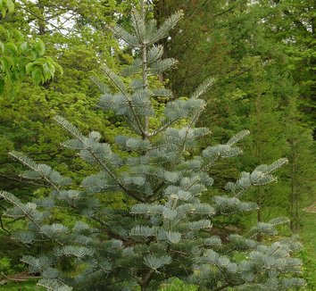 Abies concolor 'Candicans' 2 form
