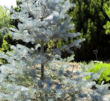 Abies concolor 'Candicans' 8