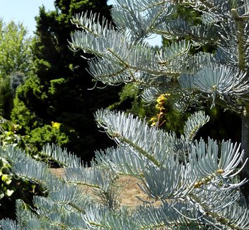 Abies concolor 'Candicans' 10