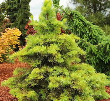 Abies concolor 'Wintergold' 1 form