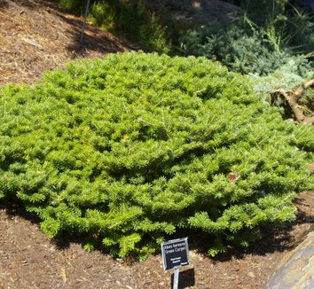 Abies koreana 'Green Carpet' 1 form