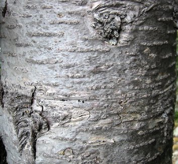 Abies lasiocarpa 2