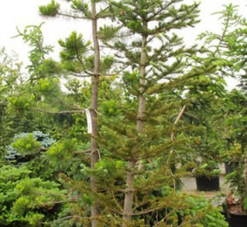Abies lasiocarpa 11 form