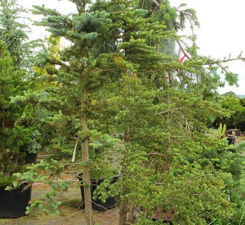 Abies lasiocarpa 12 form