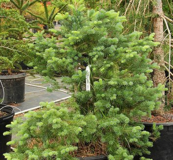 Abies lasiocarpa 13 form