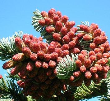 Abies procera 9 male pollen cones