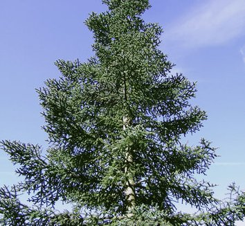 Abies procera 'Glauca' 5 form