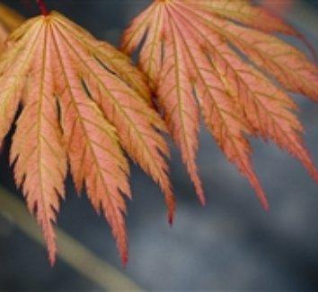 Acer palmatum 'Ariadne' 1