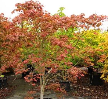 Acer palmatum 'Ariadne' 10 form
