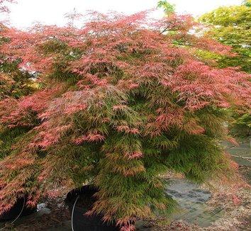 Acer palmatum dissectum 'Baldsmith' 8 form