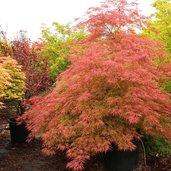 Acer Acer palmatum dissectum 'Baldsmith'