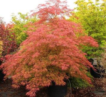 Acer palmatum dissectum 'Baldsmith' 1 form