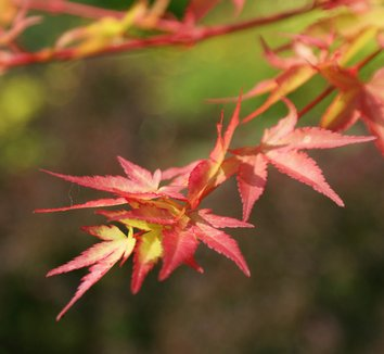 Acer palmatum 'Beni kawa' 13