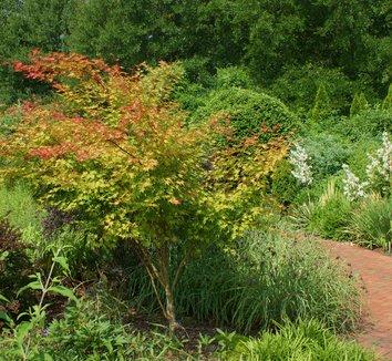 Acer palmatum 'Beni kawa' 1 form