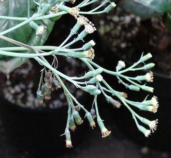 Senecio mandraliscae 6 flower
