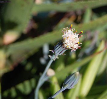 Senecio mandraliscae 16 flower