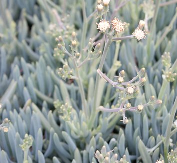 Senecio mandraliscae 21 flower