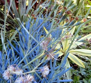 Senecio mandraliscae 22 flower