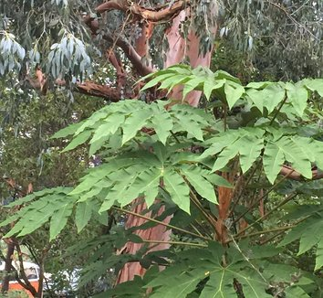 Tetrapanax papyrifer 'Steroidal Giant' 10