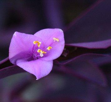 Tradescantia pallida 'Purple Heart' 1 flower