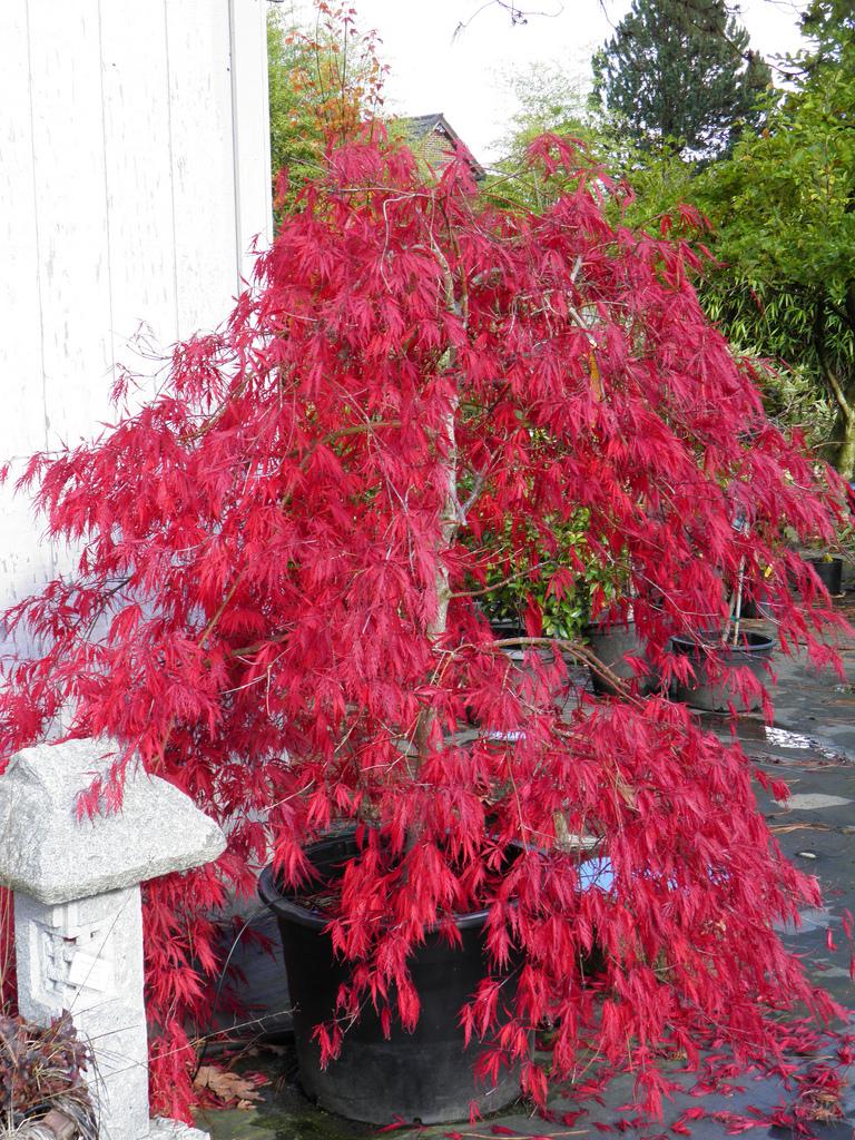 Photo #23089 | Acer palmatum 'Inaba shidare' | plant lust