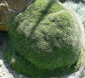 Deuterocohnia brevifolia 2 form