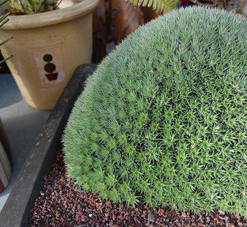 Deuterocohnia brevifolia 12