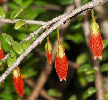 Agapetes serpens 2 flower