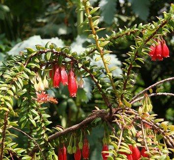 Agapetes serpens 6 flower, form