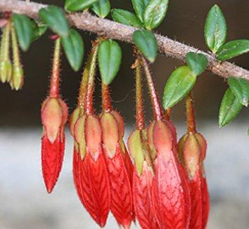 Agapetes serpens 8 flower