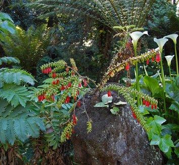 Agapetes serpens 12 flower