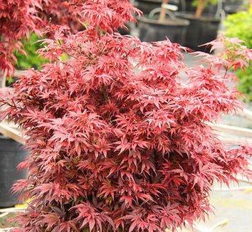 acer palmatum 39 shaina 39 shaina japanese maple plant lust. Black Bedroom Furniture Sets. Home Design Ideas